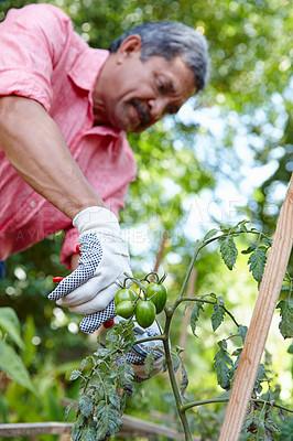 Buy stock photo Shot of a senior man gardening in his backyard