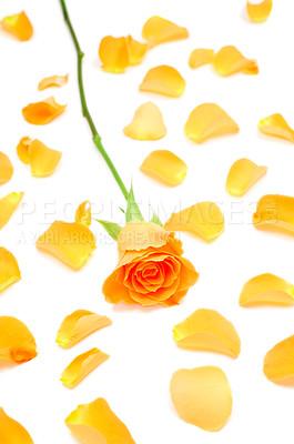 Buy stock photo Isolated rose on white background