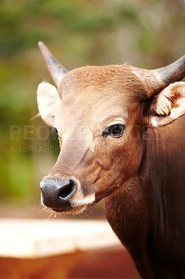 Buy stock photo Closeup of a Thai cow
