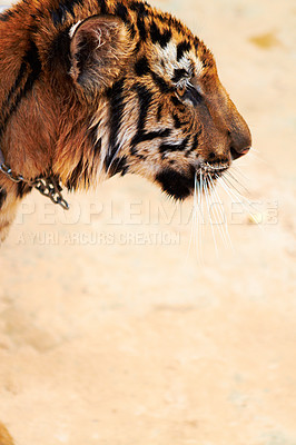 Buy stock photo Side view of a beautiful Indochinese tiger