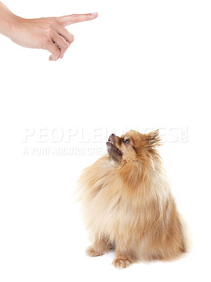 Buy stock photo Owner reprimanding a cute pomeranian with a pointed finger