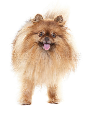 Buy stock photo Frontal view of a cute pomeranian wagging its tail