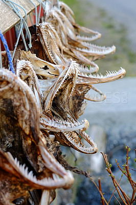 Buy stock photo A photo Air dried fish in Norway