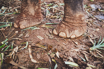 Buy stock photo Shot of an elephant's feet as it stands in the jungle