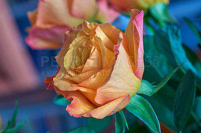 Buy stock photo A photo of a beautiful yellow rose