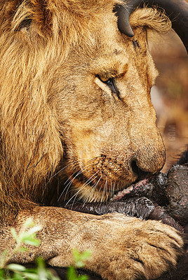 Buy stock photo Cropped shot of a lion eating his prey the plains of Africa