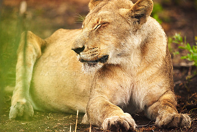 Buy stock photo Full length shot of a lioness on the plains of Africa