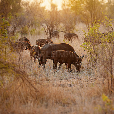 Buy stock photo Full length shot of a group of buffalo on the African plains