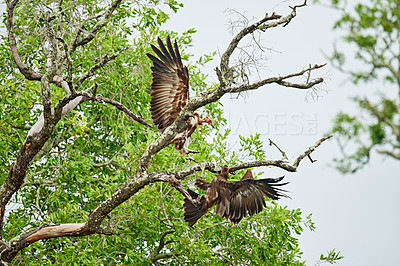 Buy stock photo Full length shot of two Hooded Vultures landing in a tree