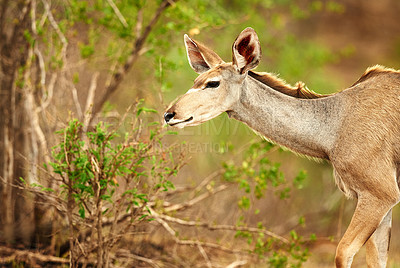 Buy stock photo Cropped shot of a male Nyala on the plains of Africa