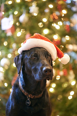 Buy stock photo Shot of a labrador sitting in front of a christmas tree and wearing a santa hat