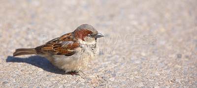 Buy stock photo A telephoto of a small sparrow in early sunset (Central Park, Manhattan)
