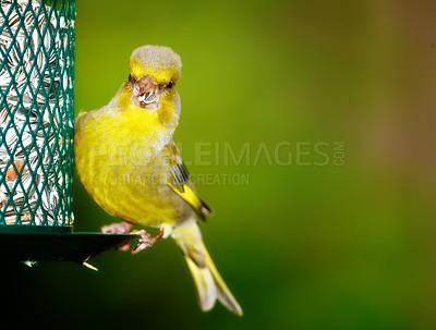 Buy stock photo Carduelis chloris - Greenfinch. Beautiful garden bird in Europe, incl. Denmark