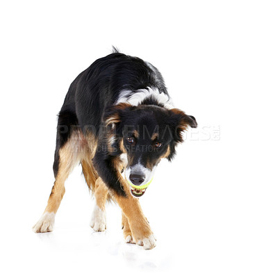 Buy stock photo Studio shot of a border collie with a ball in it's mouth isolated on white