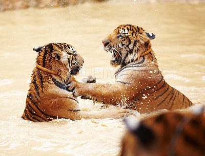 Buy stock photo Two wet tigers playfully fighting in the water