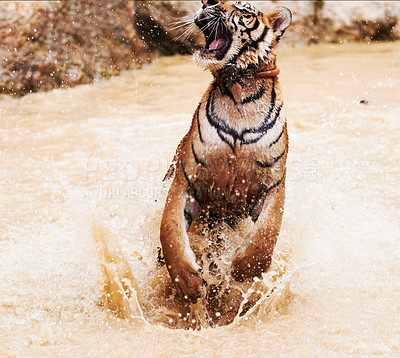 Buy stock photo Majestic Thai tiger jumping out of the water
