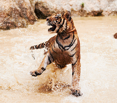 Buy stock photo Tiger playfully splashes around in the water