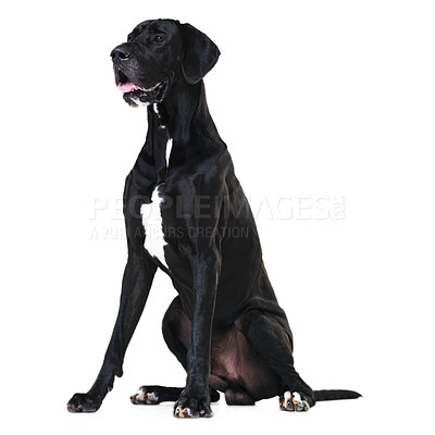 Buy stock photo Side portrait of a regal great dane sitting isolated on white