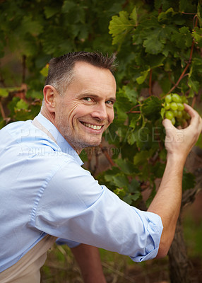Buy stock photo Portrait of a mature wine maker checking on his white grapes