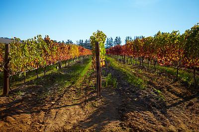 Buy stock photo An empty winefarm in autumn
