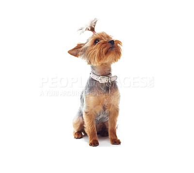 Buy stock photo Studio shot of a cute terrier looking upwards isolated on white