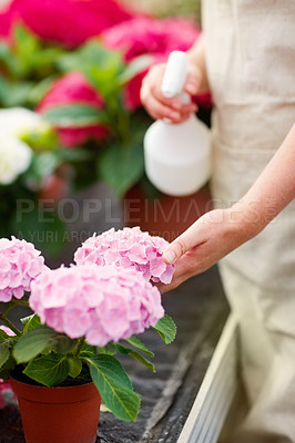 Buy stock photo Mid section of a woman watering fresh and pretty flowers