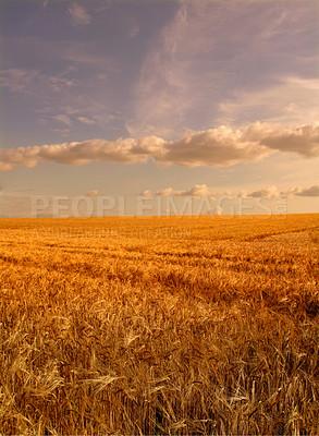 Buy stock photo Ripe wheat - ready for harvesting