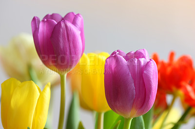 Buy stock photo A photo of colorful tulips under natural light condiitions