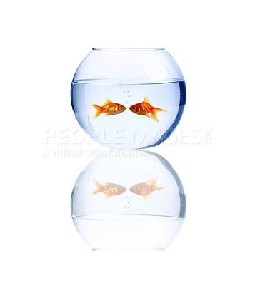 Buy stock photo High resolution image of goldfish kissing