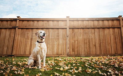 Buy stock photo Shot of a cute labrador sitting amongst fallen leaves on the grass outdoors