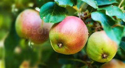 Buy stock photo Fresh apple in the garden