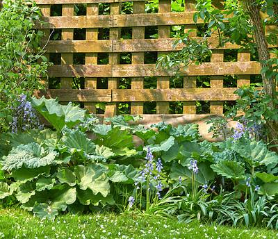 Buy stock photo Rhubarb in my back yard garden