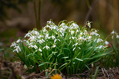 Buy stock photo Snowdrop in springtime