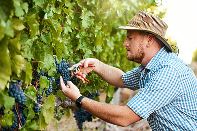 Buy stock photo Shot of a farmer harvesting grapes