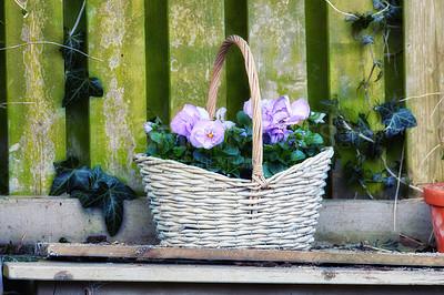 Buy stock photo Pansies in the garden