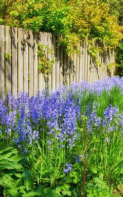 Buy stock photo Garden in blue - Bluebell - Scilla siberica, blue flowers in late spring