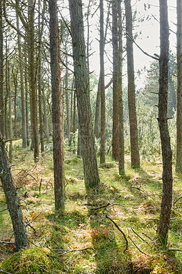 Buy stock photo Pine trees - slim and proud