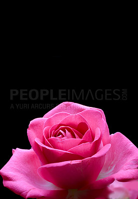 Buy stock photo A  photo of a red roseA bouquet of red roses on against black background