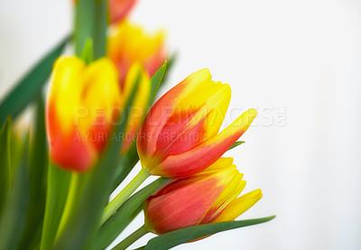 Buy stock photo Beautiful bunch of tulips