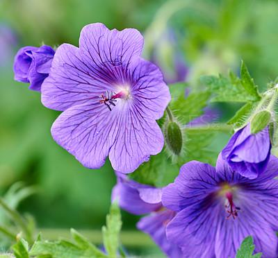 Buy stock photo A photo of blue Geranium flowers