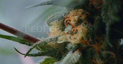 Buy stock photo Shot of marijuana growing inside of a grow room