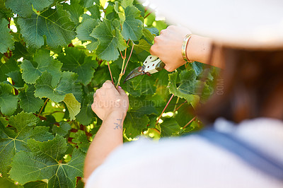 Buy stock photo Cropped shot of an unrecognizable farmer using pruning shears on her grapevines