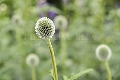 Buy stock photo Blue Globe Thistle Flowers, known as Echinops and stalwart perennial. Latin: Echinops exaltatus