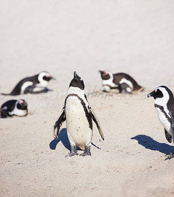 Buy stock photo Shot of penguins at Boulder's Beach in Cape Town, South Africa